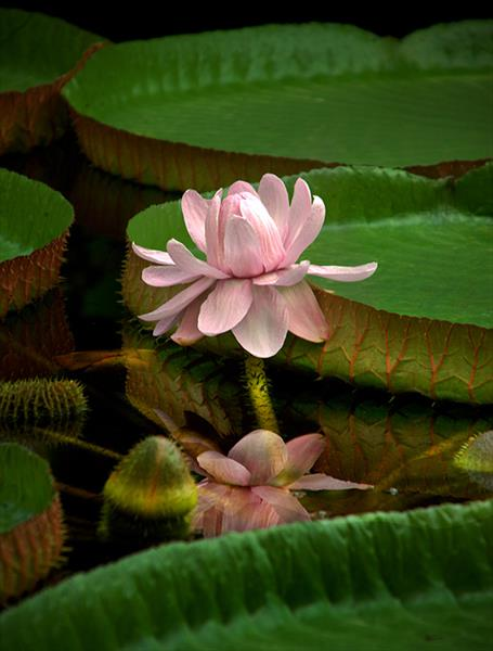GIANT WATERLILLY (LIMITED EDITION 1-20) by Peter Holzapfel