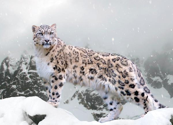 Snow Leopard by Yan Cheng