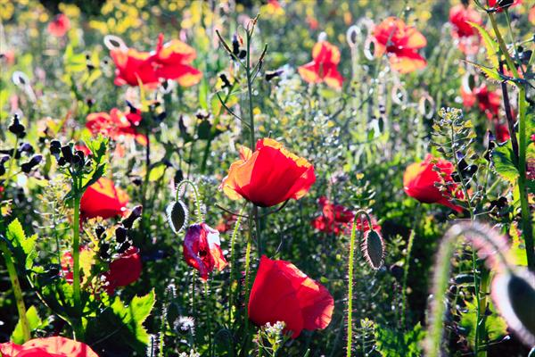 Poppies #3 by Ron Whitby