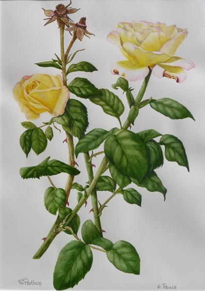 Peace Rose by Susan Prothero