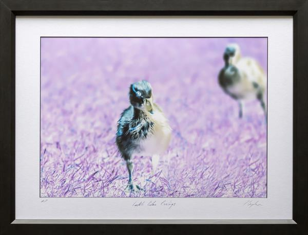 Ickle Lilac Goslings by Peter Brydon