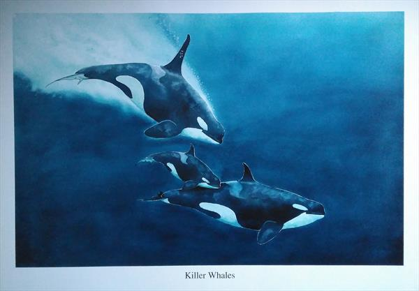Killer whales by ANDREW HASLER