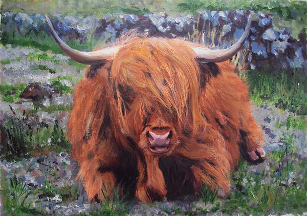 Highland Cattle Grazing