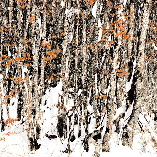 Beech Trees in Snow. Archiane. France by Georgina Bowater
