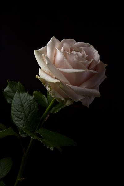 Pale pink rose in black background by Lija Baneviciute