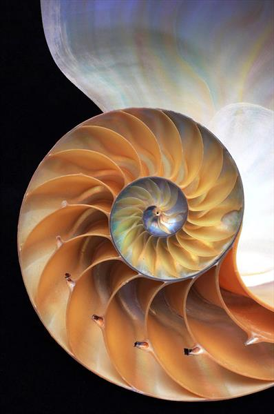 NAUTILUS SHELL (LIMITED EDITION 1-10) by Peter Holzapfel