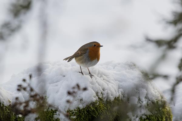 Snowy Robin (Black Framed Limited Edition Out of 25) by Tom Birtwhistle