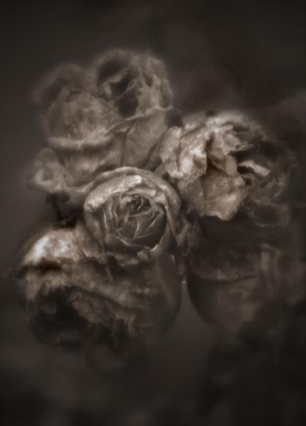 ANTIQUE ROSES (Limited Edition 1-20) by Peter Holzapfel