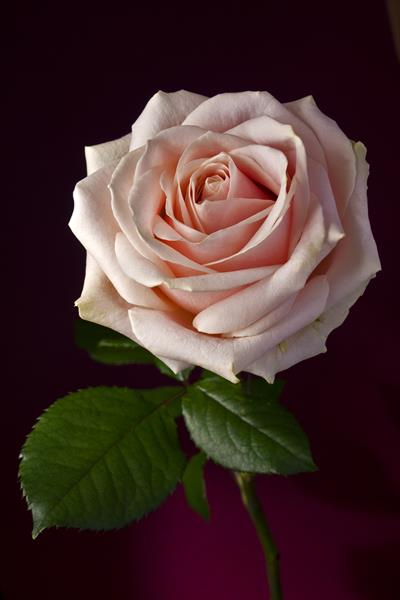Pale pink rose in red background by Lija Baneviciute