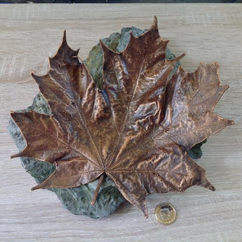 Real Ex Large Maple Leaf electroformed in copper by Tom  White