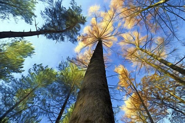 Trees in Delamere Forest by Ron Whitby