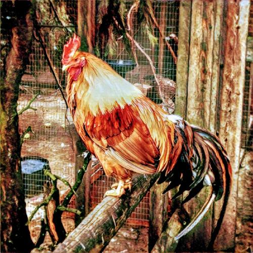 Contemplating Rooster by Stephanie Clarkson