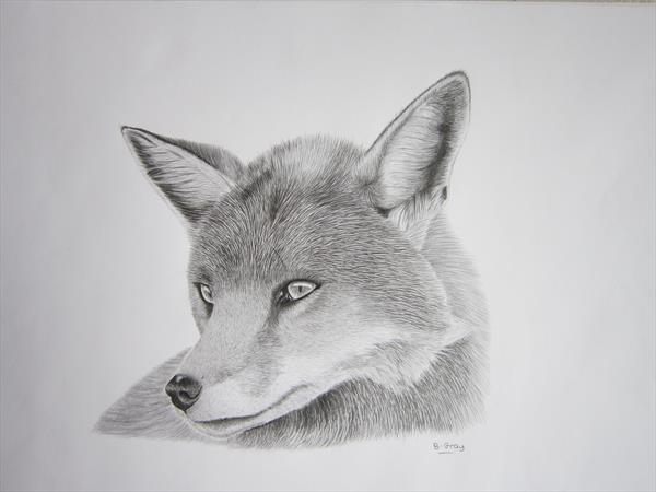 Graphite Fox drawing by Barry John Gray