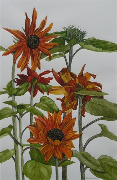 Helianthus 'prada Red' by Susan Prothero
