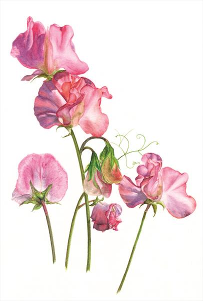Pink and mauve sweet peas by Cher Nicholson