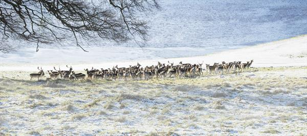 Winter Deer Herd (Ltd Edition of only 20 Fine Art Giclee Prints.) by Andrew Bret Wallis