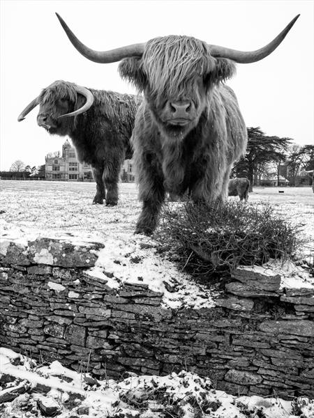 Highland Cattle 4 On Canvas - Limited Edition (02/44) by Justin Short