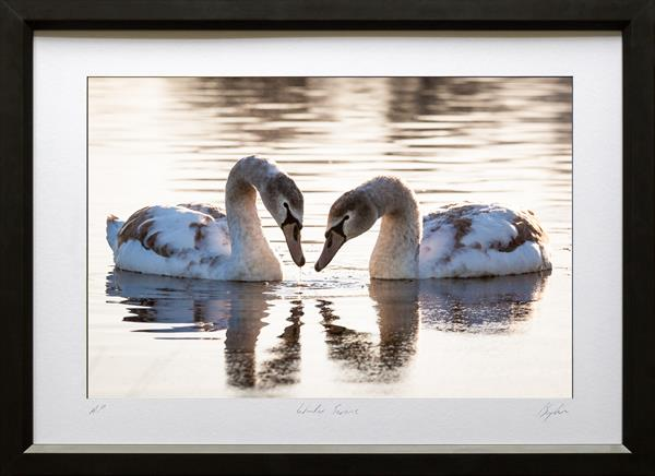 Winter Swans by Peter Brydon