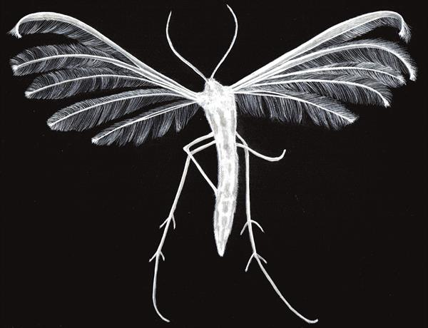 White plume moth by Paula Marshall