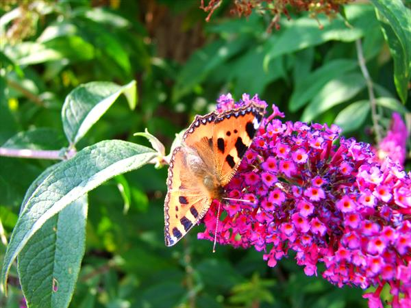 Butterfly on Buddleia by Allan Large