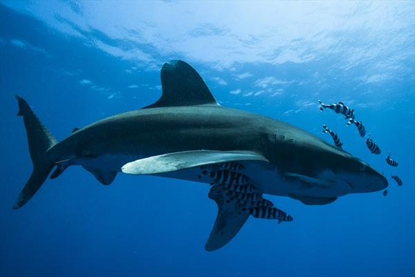 Oceanic Whitetip Shark by Andy Cain