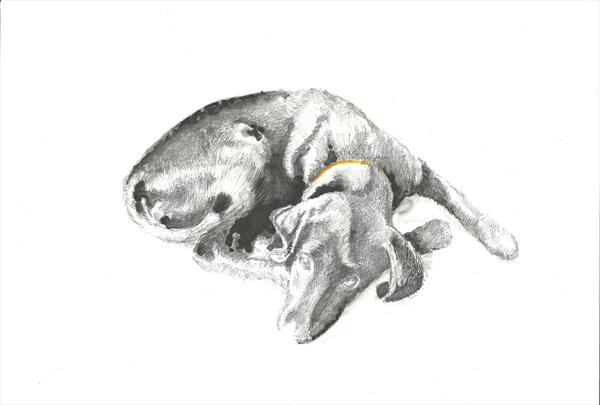 Labrador Puppy by Peter Smith