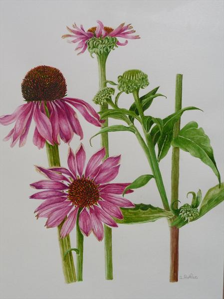 Echinacea by Susan Prothero
