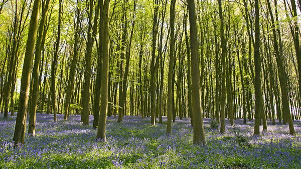 Bluebell Panorama by Alex Cassels