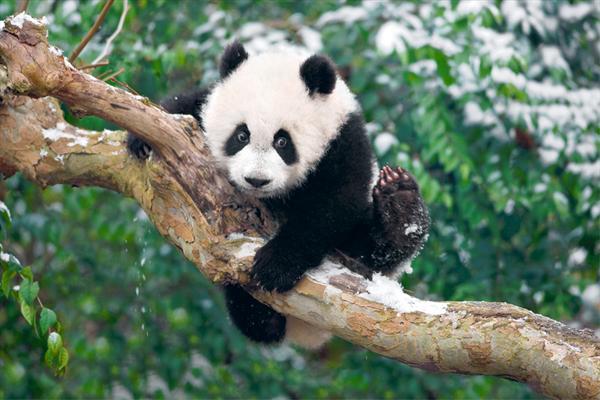 Panda Climbing Tree With Snow by Yan Cheng