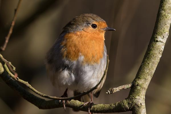 Gorgeous Robin (Black Framed Limited Edition Out of 25) by Tom Birtwhistle