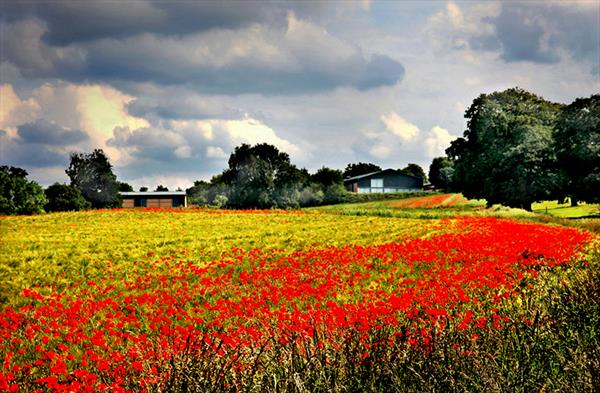 POPPY FIELD (LIMITED EDITION 1-20) by Peter Holzapfel