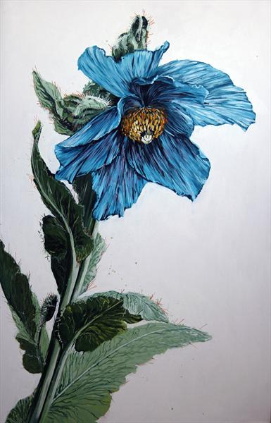 Meconopsis (Himalayan Blue Poppy) by Daniel Barber