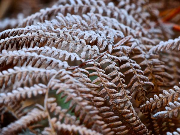 Frosted Fern by Andrew Shakesby