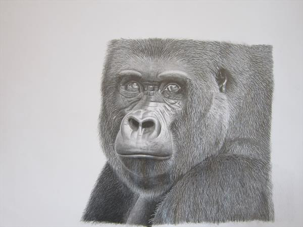 Graphite Gorilla drawing by Barry John Gray