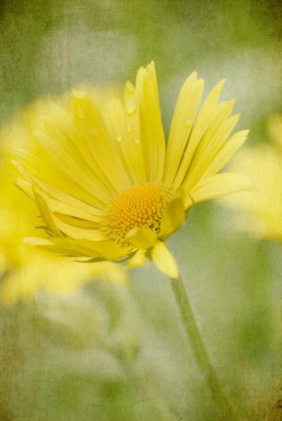 Mellow Yellow by Linda Hoey