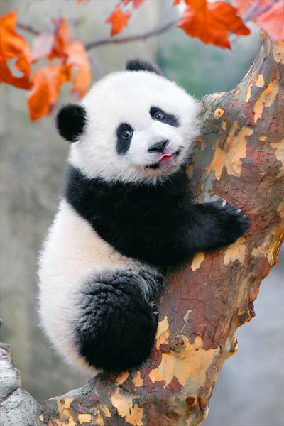 Panda on tree by Yan Cheng