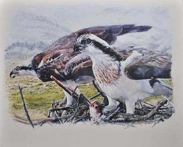Welsh Ospreys by Terry Walsh