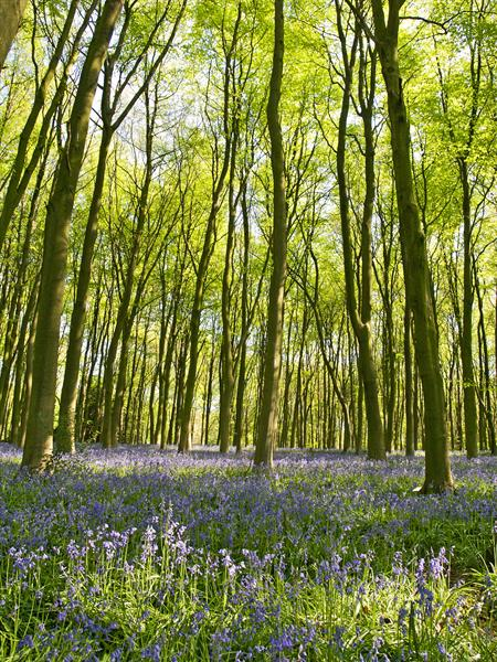 Bluebells of Micheldever Wood by Alex Cassels
