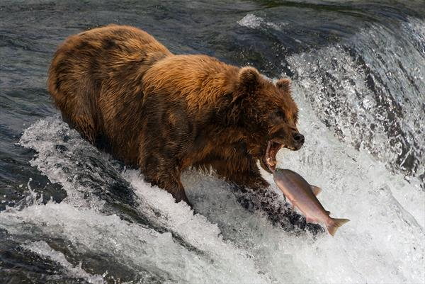 Bear about to catch salmon in mouth by Nick Dale
