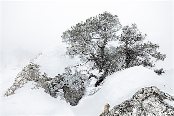 Hardy Mountain Pines in Deep Snow. Vercors. France. by Georgina Bowater