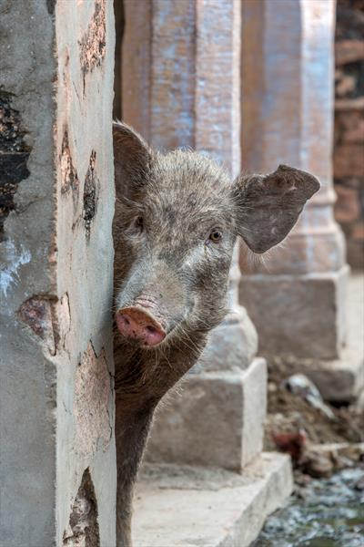Pig peeping out from behind wall by Nick Dale
