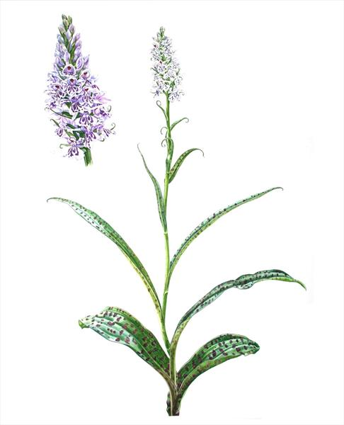 Common Spotted Orchid by Zoe Elizabeth Norman