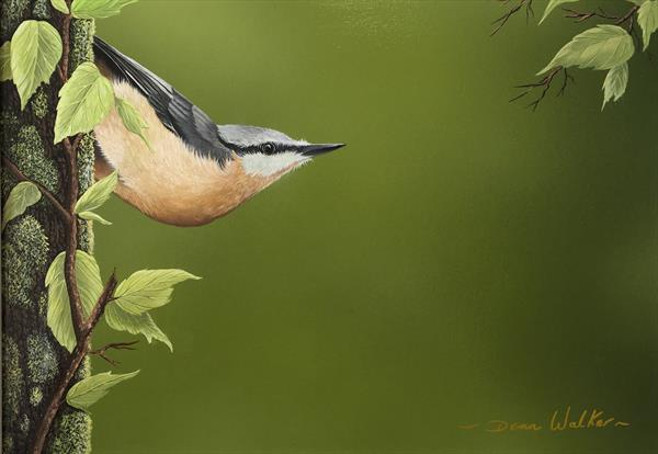 Nuthatch portrait  by dean walker