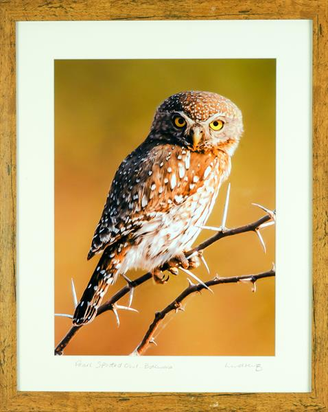 Pearl Spotted Owl by Lindsey Bucknor OBE