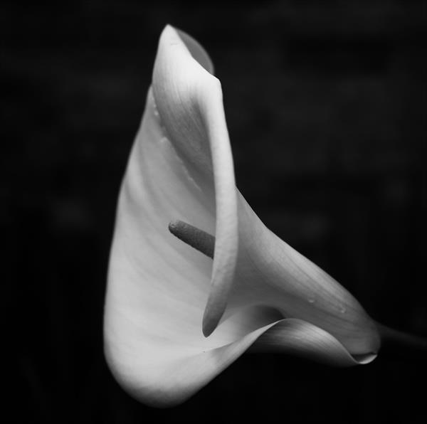 ARUM LILLY (LIMITED EDITION 1-10) by Peter Holzapfel