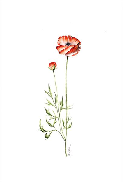 Red poppies, nature, flowers, botanical watercolours