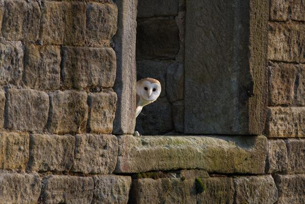 Peeping Barn Owl (Black Framed Limited Edition Out of 25) by Tom Birtwhistle