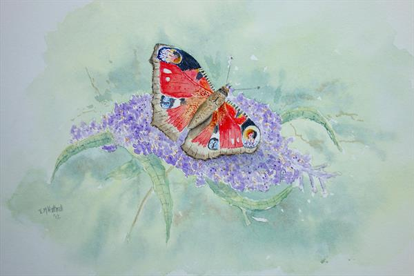 peacock butterfly on Buddleia by Eric Hattrell