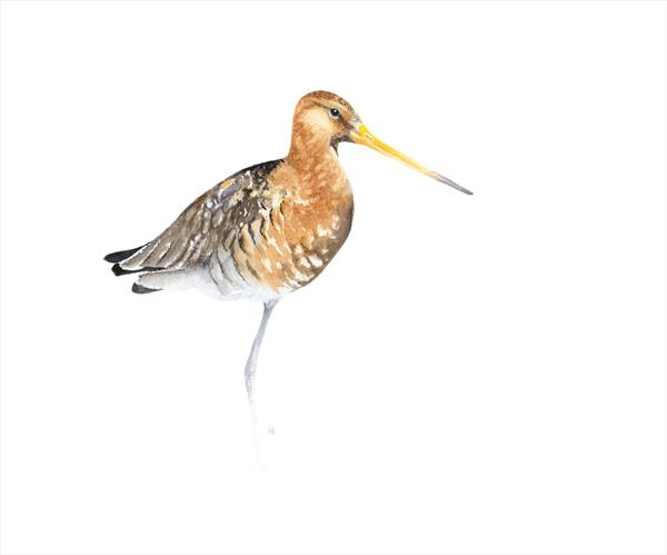 Black Tailed Godwit by Tracey Hollis Rowe