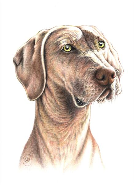 Weimaraner Portrait by Ian R Ward